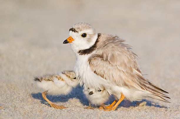 Piping Plover Piping Plover Adult with Chicks  Charadrius melodus  Plymouth Beach, Massachusetts animal family stock pictures, royalty-free photos & images