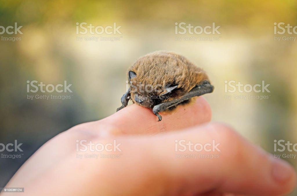 Pipistrellus pipistrellus stock photo