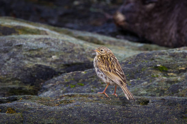 A Pipit bird stands on a rocky shore on South Georgia Island Once a rare bird, the Pipit has made a come back in population size due to pest control measures on South Georgia Island south georgia island stock pictures, royalty-free photos & images