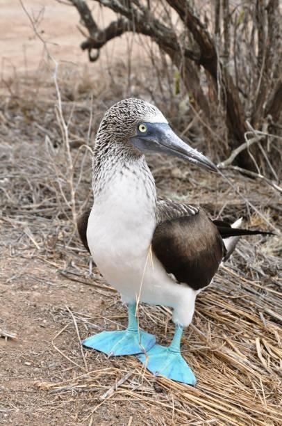 Piquero de patas azules stock photo