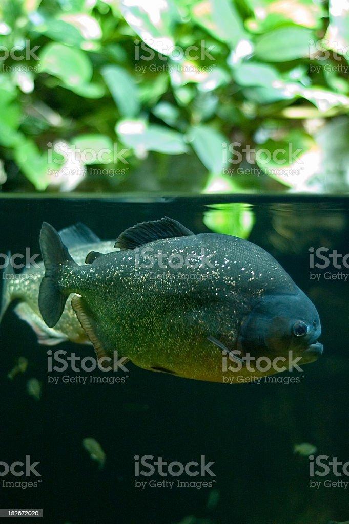 Piranha Beneath the Surface stock photo