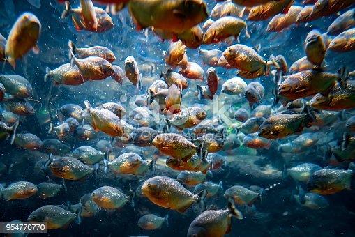 istock Piranha - Colossoma macropomum 954770770