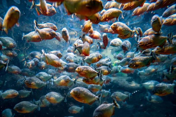 Piranha-Colossoma macropomum – Foto