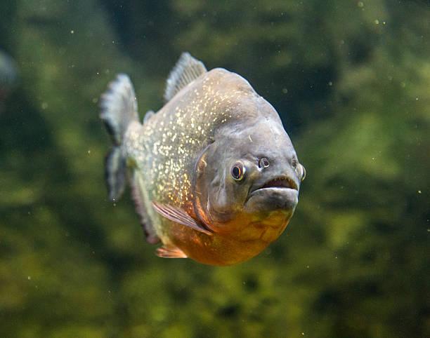 pirania niebezpieczne pod wodą z ryb słodkowodnych - pirania zdjęcia i obrazy z banku zdjęć