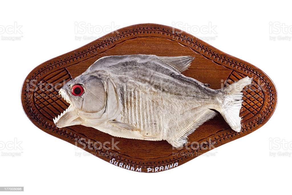 Piranha fish as trophy on wood isolated stock photo