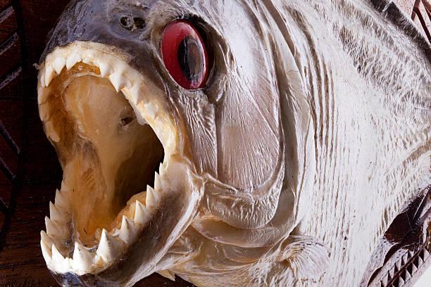 pirania ryb zbliżenie - pirania zdjęcia i obrazy z banku zdjęć
