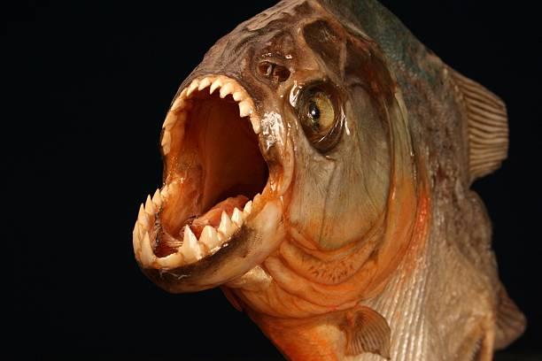 pirania ryb na czarnym tle - pirania zdjęcia i obrazy z banku zdjęć