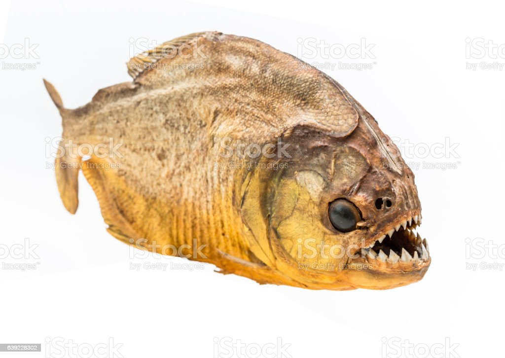 Piranha fish on isolated with white background stock photo