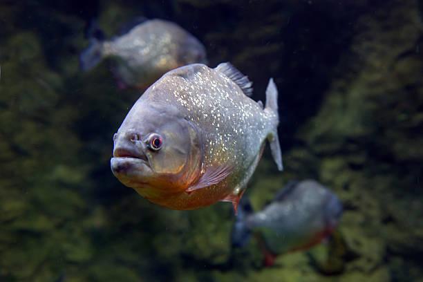 pirania ryb. - pirania zdjęcia i obrazy z banku zdjęć