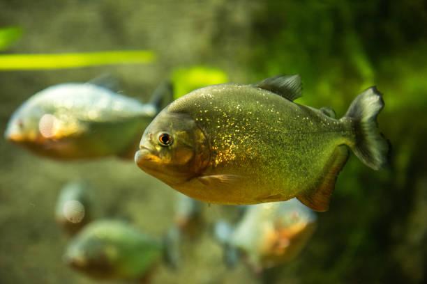 piranha fish underwater - pirania zdjęcia i obrazy z banku zdjęć