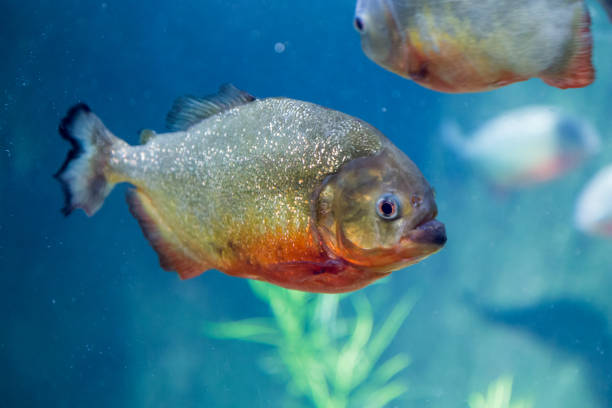 piranha in the aquarium. pygocentrus nattereri. serrasalminae. characidae. serrasalmidae. serrasalmus nattereri - pirania zdjęcia i obrazy z banku zdjęć