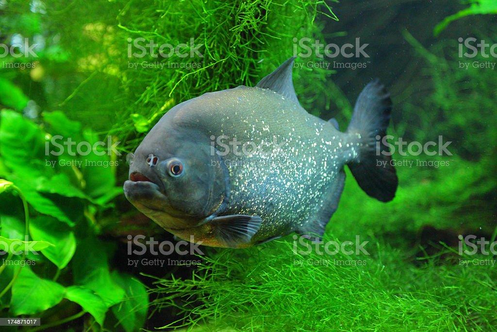 Royalty Free Piranha Amazon River Aquarium Fish Tank Pictures