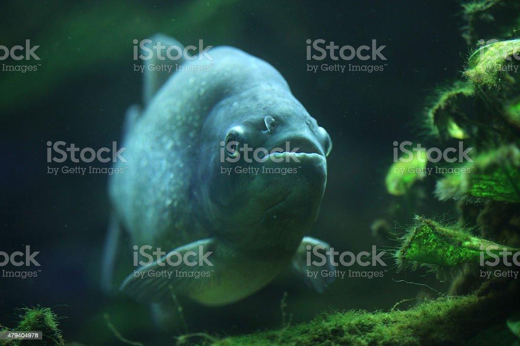Piranha (Pygocentrus piraya) stock photo