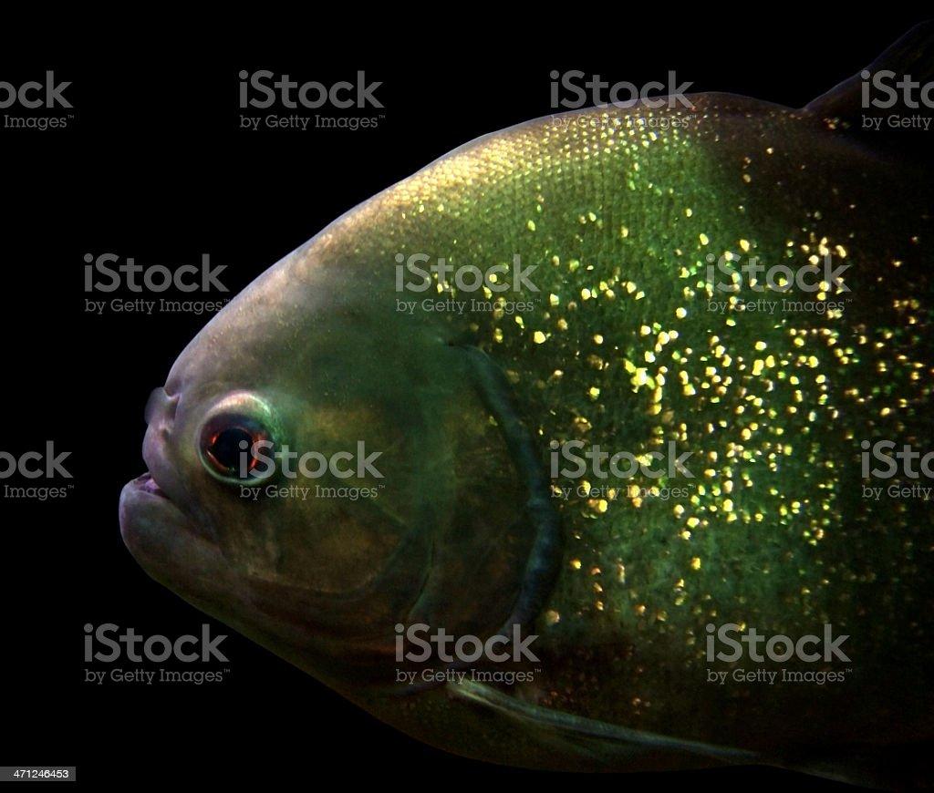 Piranha portrait stock photo