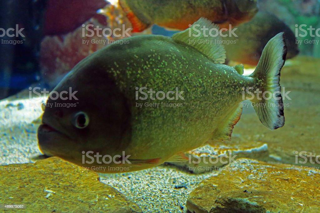 Piranha red stock photo