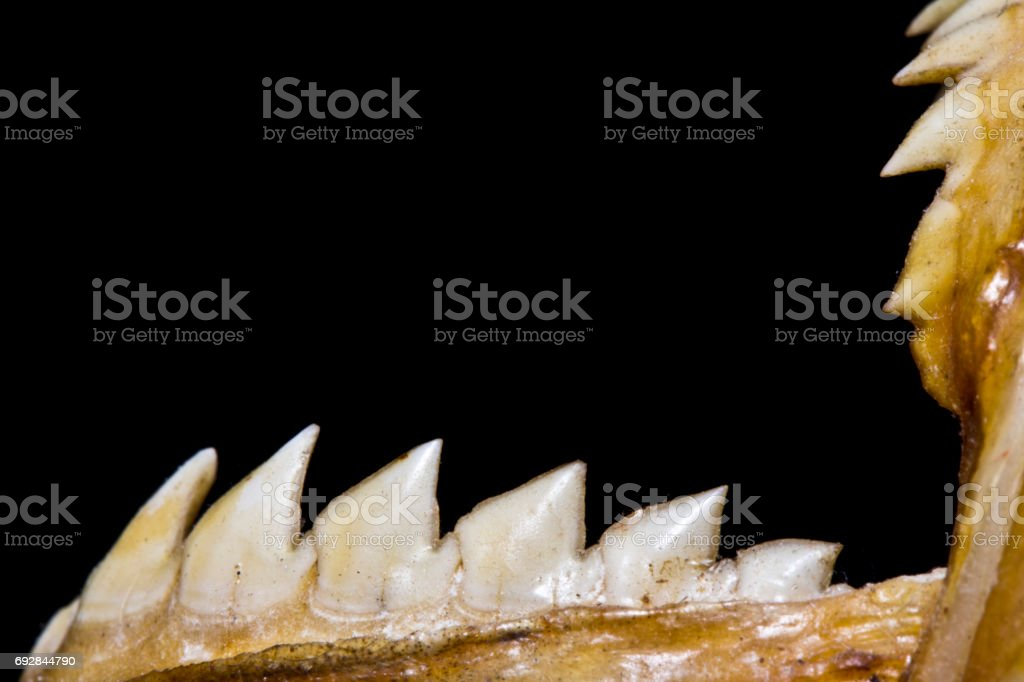 Piranha Teeth and Skull in Abstract Macro on Black Background stock photo