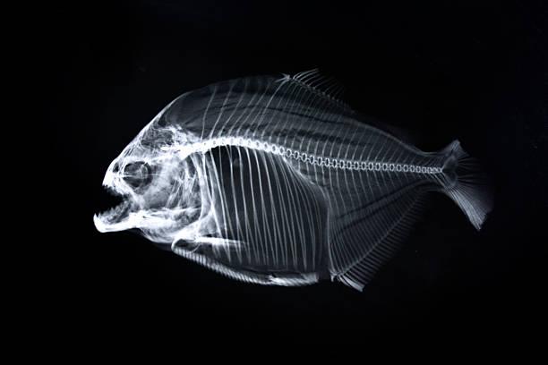 Piranha x-ray of animal skeleton stock photo