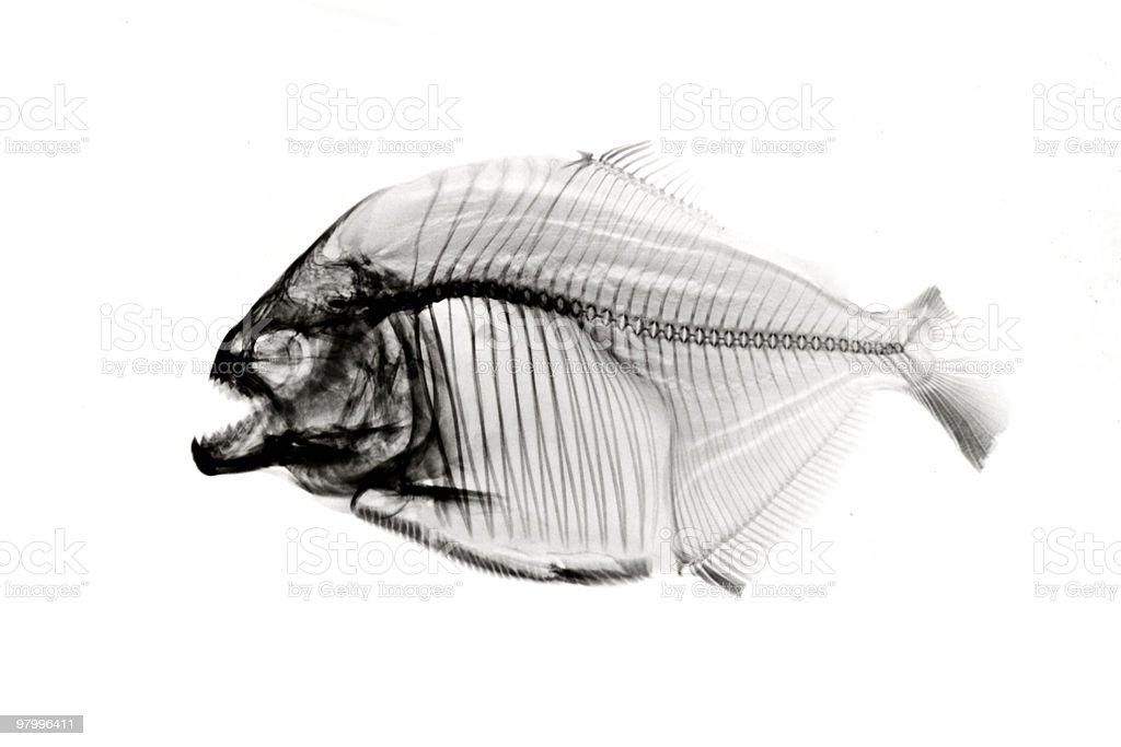 Piranha  x-ray on white royalty-free stock photo
