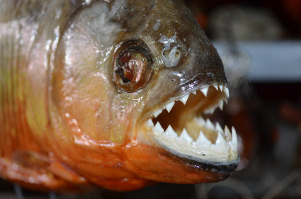 piranhas on sale as souvenirs to tourists in iquitos, peru - pirania zdjęcia i obrazy z banku zdjęć
