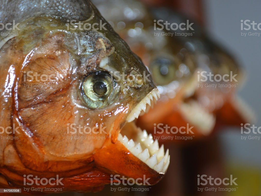 Piranhas On Sale As Souvenirs To Tourists In Iquitos Peru Stock