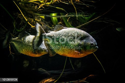 Piranhas among vegetation in the river.