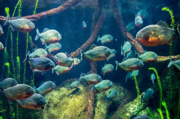 piranhas - pirania zdjęcia i obrazy z banku zdjęć