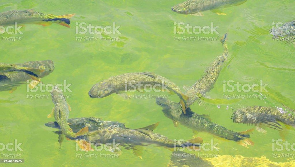 Piraputanga fishes swimming on the water of Formoso river on Bonito MS, Brazil. stock photo