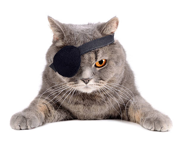 Pirate cat British cat in caribbean pirate costume with eye patch costume eye patch stock pictures, royalty-free photos & images