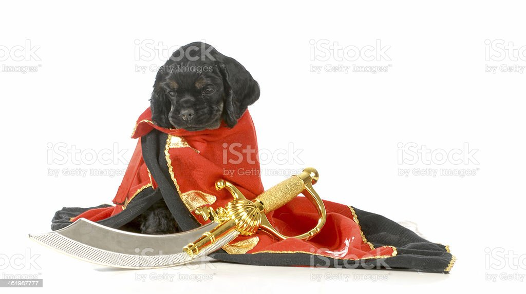 pirate dog stock photo