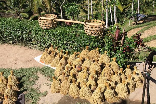 Épis de riz Séchage des épis de riz et paniers à balancier pour le transport riz stock pictures, royalty-free photos & images