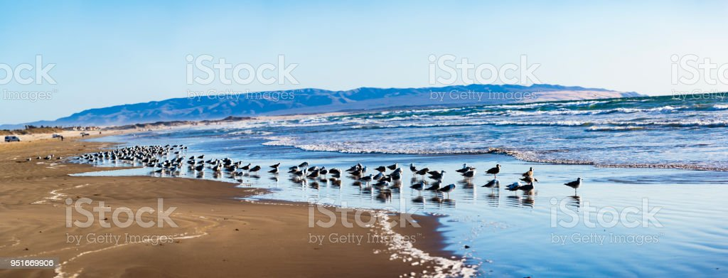 Gaviotas de Pismo Beach - foto de stock
