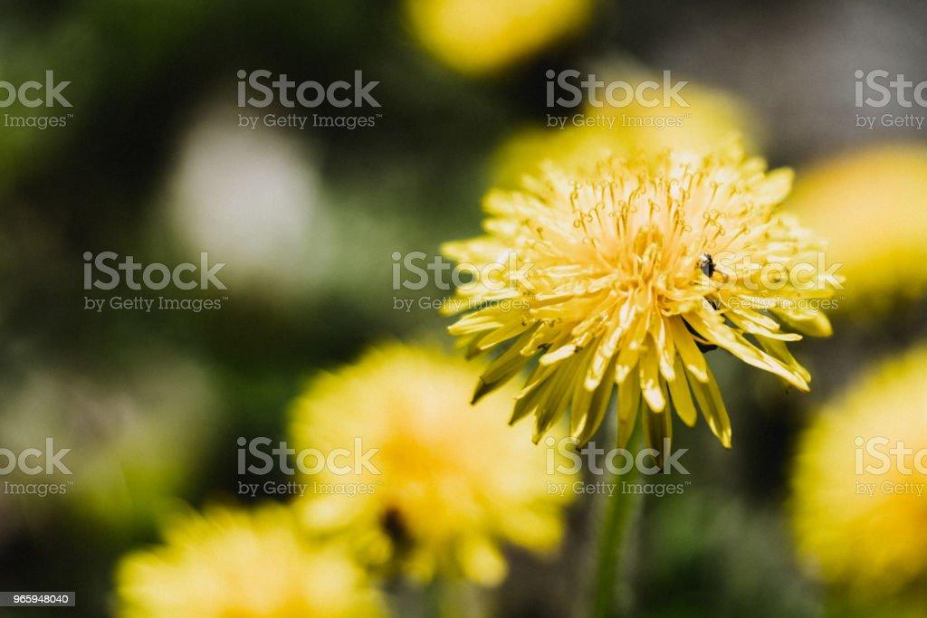 Pissenlit nl fleur. - Royalty-free Achtergrond - Thema Stockfoto