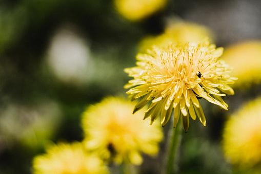 Pissenlit Nl Fleur Stockfoto en meer beelden van Achtergrond - Thema