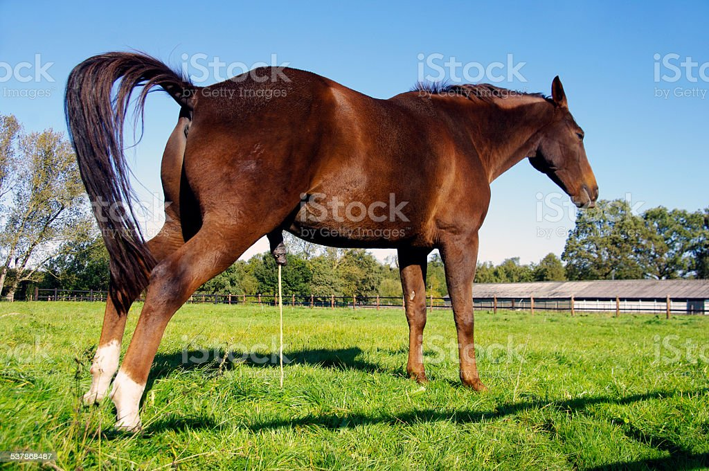 Pissing Horse Stock Photo - Download Image Now - iStock
