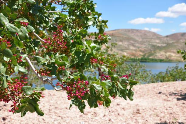 Pistacho y árbol en Gaziantep - foto de stock
