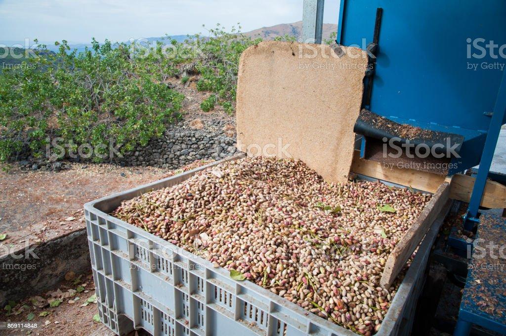 Pistachio harvest season stock photo