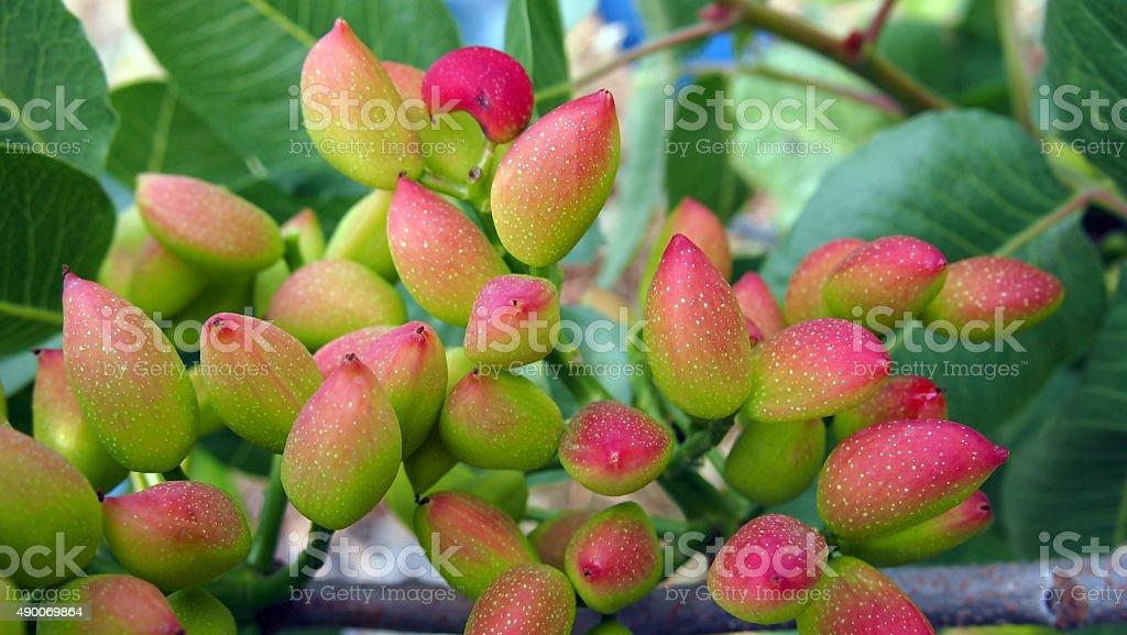 Árbol de pistacho - foto de stock