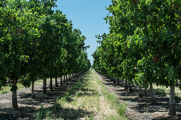 Pistacho Orchard con tuercas en Trres Ripening - foto de stock