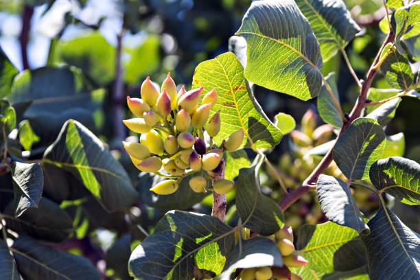 pistachos en el árbol - foto de stock