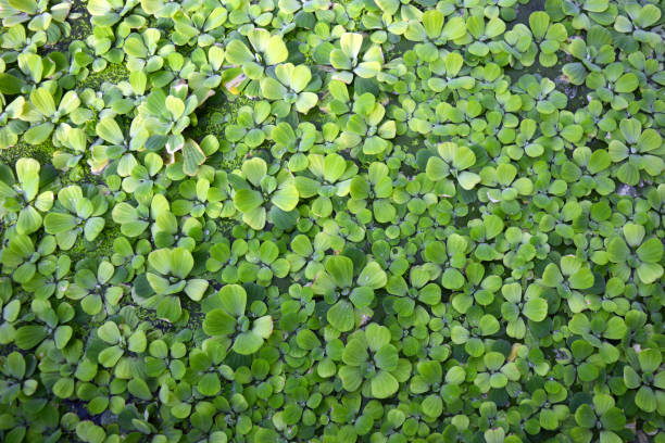 pistia stratiotes aquatic plant covering water background - introduced species stock pictures, royalty-free photos & images