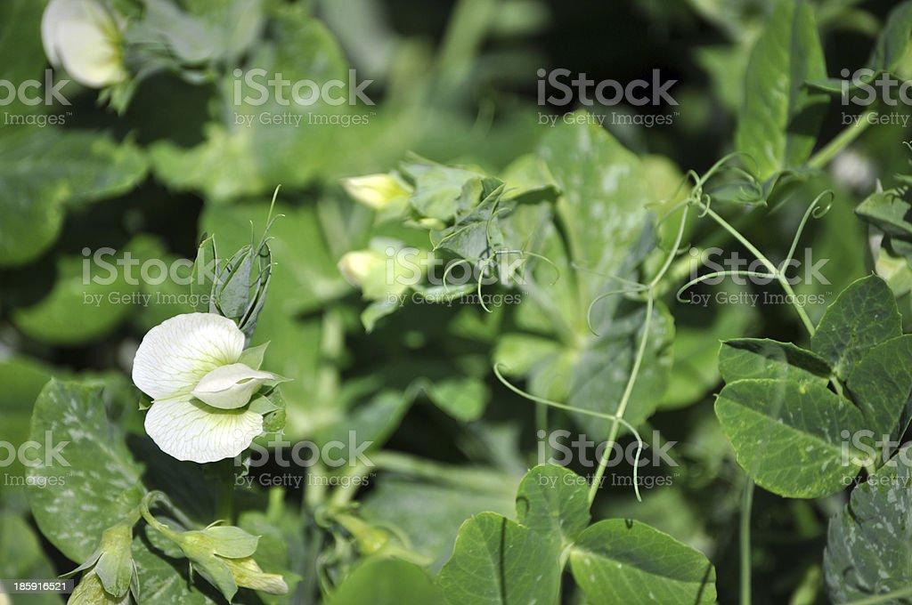 Pisum sativum stock photo