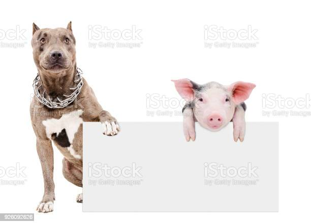 Pit bull and piglet sitting with a banner picture id926092626?b=1&k=6&m=926092626&s=612x612&h=qvk9snj3gjcpcrnpjdnoltweoob50nthwwfwnyctky4=