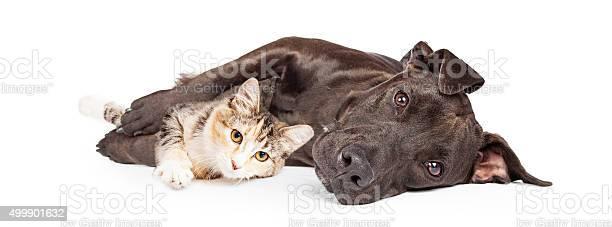 Pit bull dog and kitten cuddling picture id499901632?b=1&k=6&m=499901632&s=612x612&h=gtkumx2mg6v8f8cyp 5pkze190773sycouyrv4mknw0=