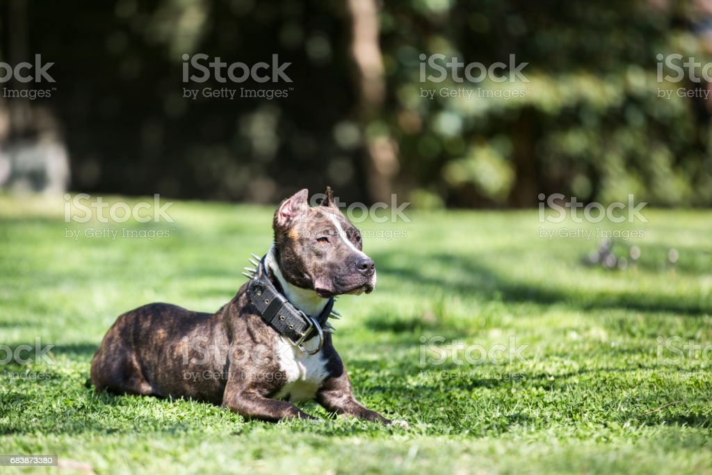 Pit Bull Dog At Park stock photo