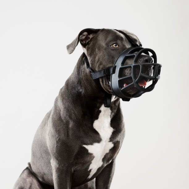 Pit bull dog guarding with muzzle stock photo