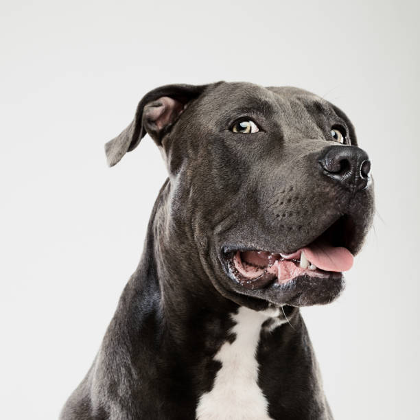 Pit bull dog looking at camera studio portrait stock photo