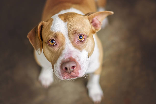 Pit Bull Dog Tan and white pit bull dog in shelter. mixed breed dog stock pictures, royalty-free photos & images