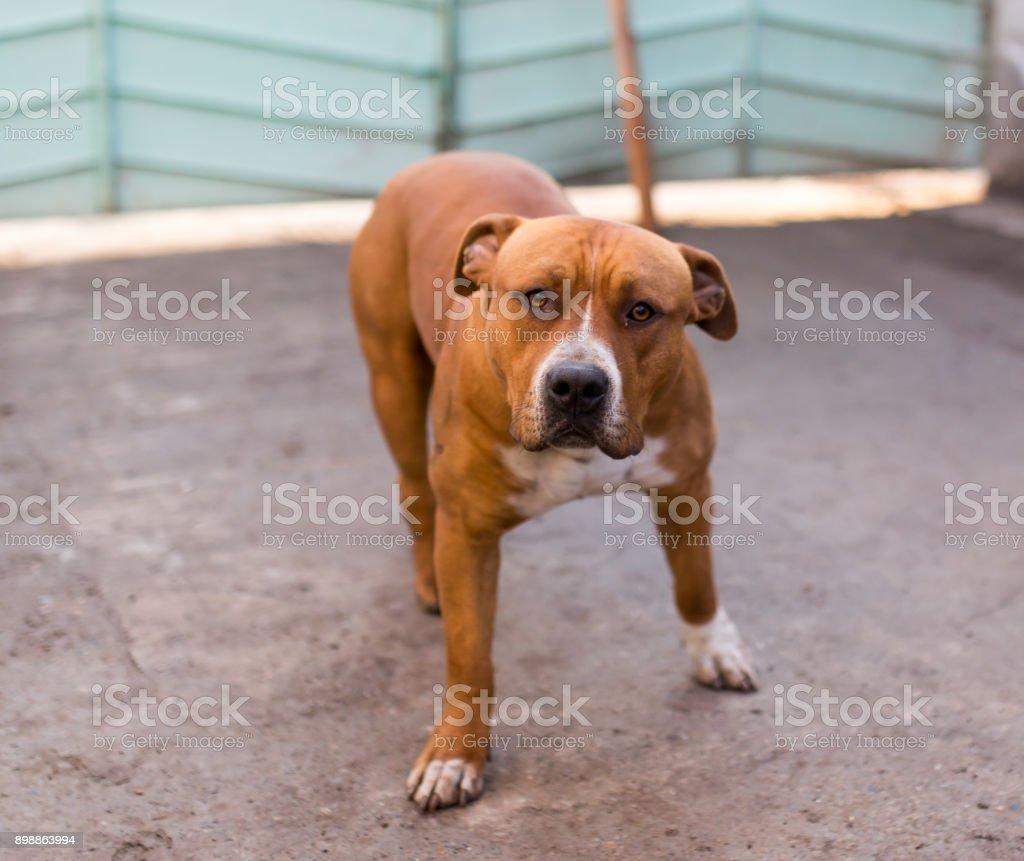 pit bull dog stock photo