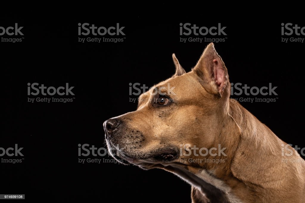 Pit bull dog portrait close-up in studio with black background stock photo