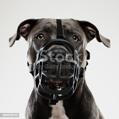Portrait of a beautiful american pitbull with muzzle dog looking at camera with attention. Square portrait of black american stafford dog posing against white background. Studio photography from a DSLR camera. Sharp focus on eyes.